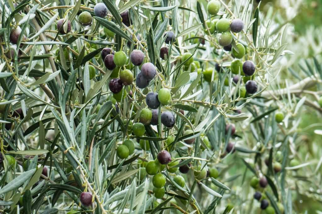 What makes a good olive oil